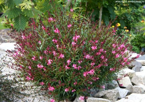 Vrtnarstvo Breskvar - Gaura lindheimeri