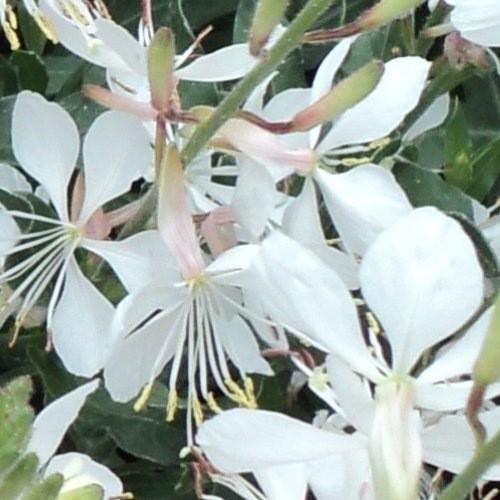 Vrtnarstvo Breskvar - Gaura lindheimeri Gambit White