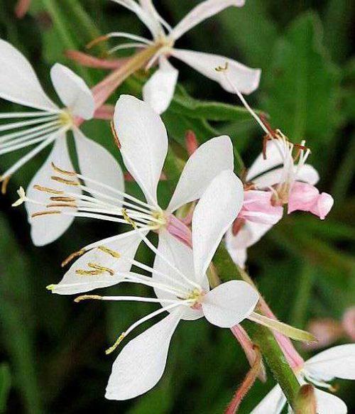 Vrtnarstvo Breskvar - Gaura lindheimeri Whirling Butterfly