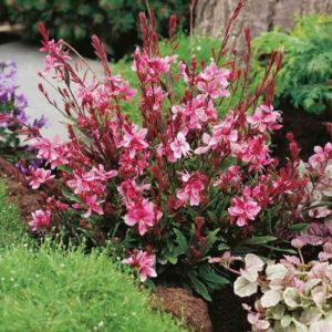 Vrtnarstvo Breskvar - Gaura lindheimeri Lollipop Pink