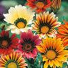 Vrtnarstvo Breskvar - Gazania