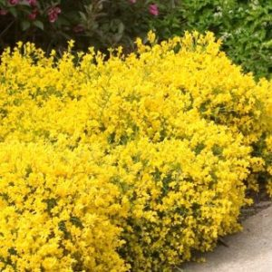 Vrtnarstvo Breskvar - Genista lydia