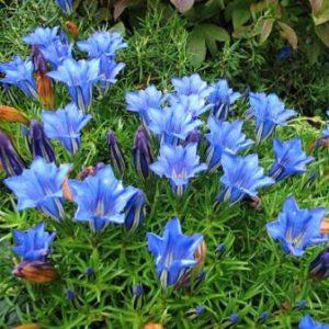 Vrtnarstvo Breskvar - Gentiana sino-ornata