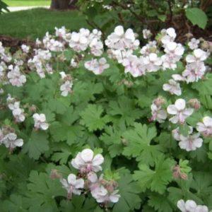 Vrtnarstvo Breskvar - Geranium cantabrigiense Biokovo