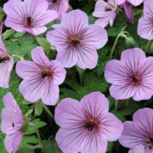 Vrtnarstvo Breskvar - Geranium Joy