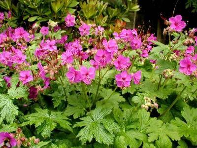 Vrtnarstvo Breskvar - Geranium macrorrhizum
