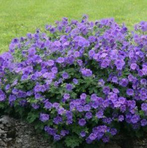 Vrtnarstvo Breskvar - Geranium magnifucum