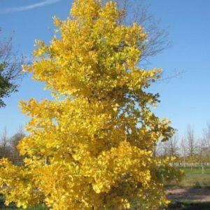 Vrtnarstvo Breskvar - Ginkgo biloba Fastigiata Blagon