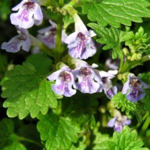Vrtnarstvo Breskvar - Glechoma hederacea Variegata