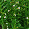 Vrtnarstvo Breskvar - Gratiola officinalis