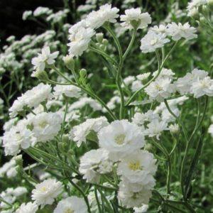 Vrtnarstvo Breskvar - Gypsophila paniculata Schneeflocke