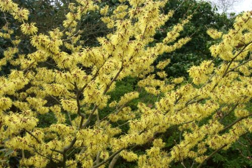 Vrtnarstvo Breskvar - Hamamelis Arnold Promise