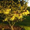 Vrtnarstvo Breskvar - Hamamelis Pallida