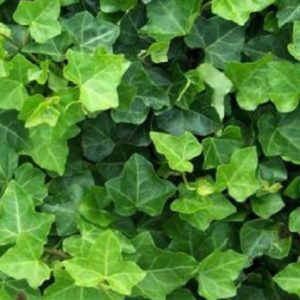 Vrtnarstvo Breskvar - Hedera hibernica