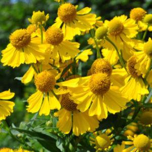 Vrtnarstvo Breskvar - Helenium autumnale Helena Yellow