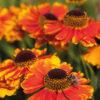 Vrtnarstvo Breskvar - Helenium cultivar Mardi Gras