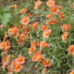 Vrtnarstvo Breskvar - Helianthemum hybride Braungold