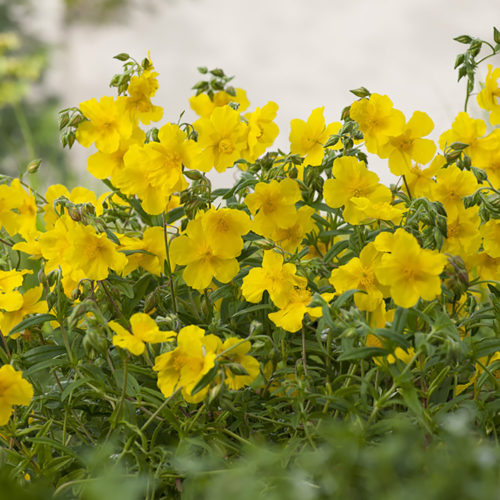 Vrtnarstvo Breskvar - Helianthemum hybride Golden Queen