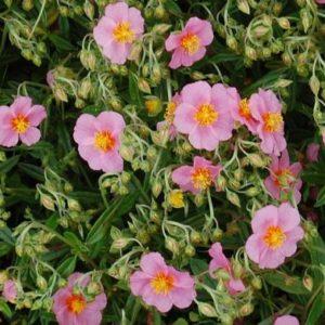 Vrtnarstvo Breskvar - Helianthemum hybride Lawrensons Pink