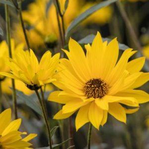 Vrtnarstvo Breskvar - Helianthus atrorubens Monarch