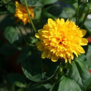 Vrtnarstvo Breskvar - Helianthus decapetalus Soleil Door