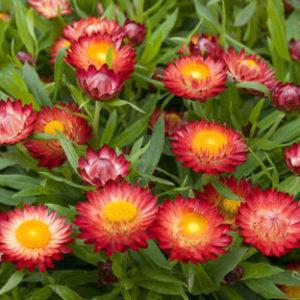 Vrtnarstvo Breskvar - Helichrysum bracteatum