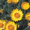 Vrtnarstvo Breskvar - Helichrysum bracteatum Golden Beauty