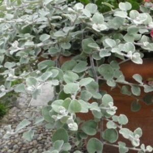 Vrtnarstvo Breskvar - Helichrysum petiolare