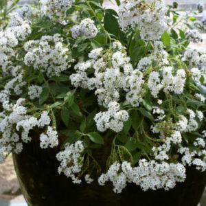 Vrtnarstvo Breskvar - Heliotropium arborescens