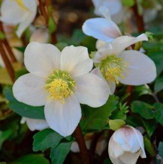 Vrtnarstvo Breskvar - Helleborus niger (Christmas Rose)