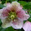 Vrtnarstvo Breskvar - Helleborus orientalis