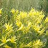 Vrtnarstvo Breskvar - Hemerocallis citrina