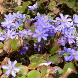 Vrtnarstvo Breskvar - Hepatica nobilis
