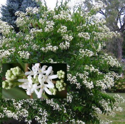 Vrtnarstvo Breskvar - Heptacodium miconioides