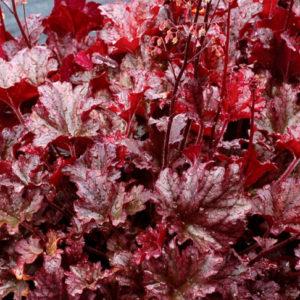 Vrtnarstvo Breskvar - Heuchera hybrida Berry Marmelade