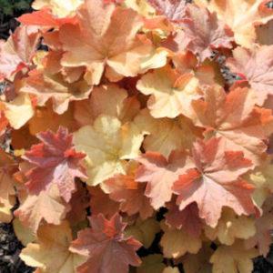 Vrtnarstvo Breskvar - Heuchera hybrida Caramel