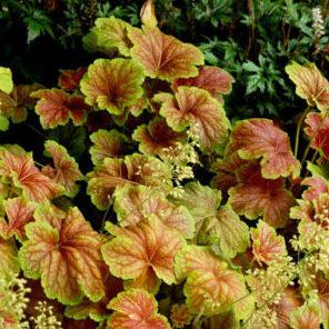 Vrtnarstvo Breskvar - Heuchera hybrida Delta Dawn
