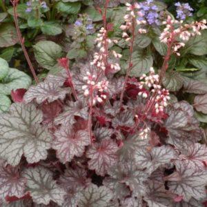 Vrtnarstvo Breskvar - Heuchera Hybrida Little Cuties Frost