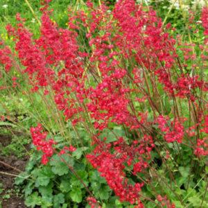 Vrtnarstvo Breskvar - Heuchera sanguinea