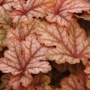 Vrtnarstvo Breskvar - Heucherella hybrida Honey Rose