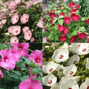 Vrtnarstvo Breskvar - Hibiscus Luna