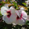 Vrtnarstvo Breskvar - Hibiscus moscheutos Kopper King