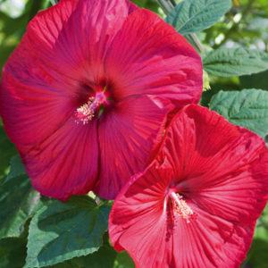 Vrtnarstvo Breskvar - Hibiscus moscheutos Nippon Red
