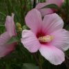 Vrtnarstvo Breskvar - Hibiscus moscheutos Rosa