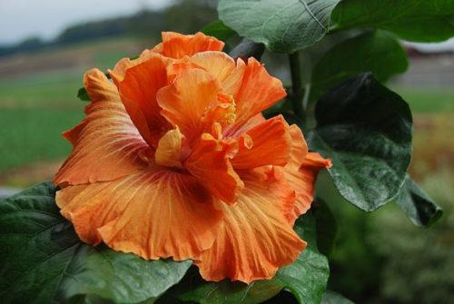 Vrtnarstvo Breskvar - Hibiscus rosa-sinensis