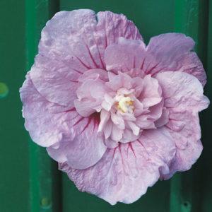 Vrtnarstvo Breskvar - Hibiscus syriacus Lavender Chiffon Noble