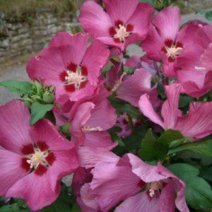 Vrtnarstvo Breskvar - Hibiscus syriacus Woodbridge