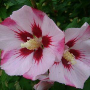 Vrtnarstvo Breskvar - Hibiscus Syriacus Hamabo