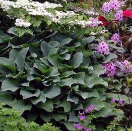 Vrtnarstvo Breskvar - Hosta hybride Krossa Regal