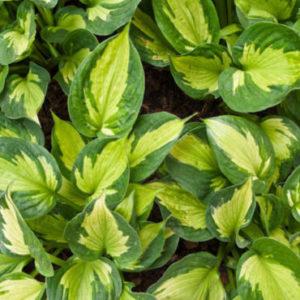 Vrtnarstvo Breskvar - Hosta Whirlwind